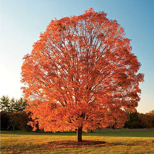 Acer Saccharum (Sugar Maple Tree)
