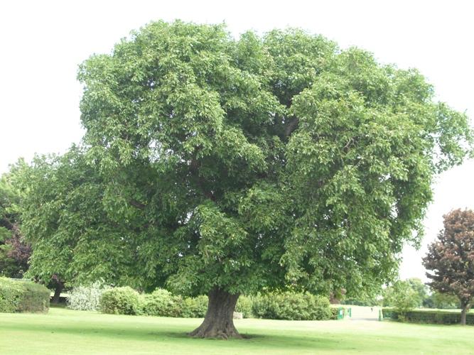 Juglans Nigra (Black Walnut Tree)